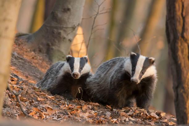 National Badger day
